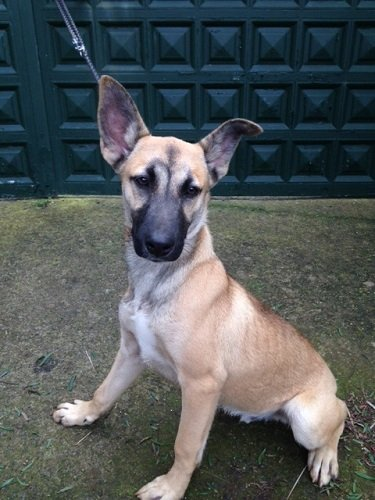 Faykan / Malinois-Mix