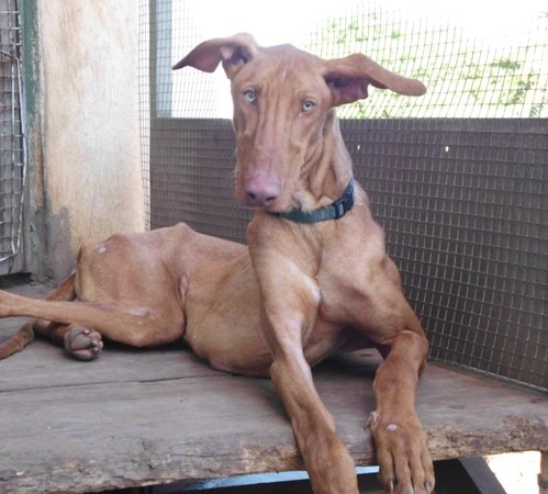 Tuno / Galgo-Podenco-Mix