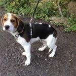Tom / Beagle-Mischling